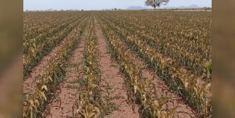Piden productores activar los seguros Cadena y Catastrófico para contrarrestar efectos de las heladas