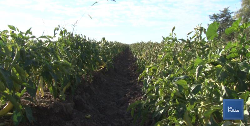 En la Región del Mayo, contabilizan más de 10 mil hectáreas afectadas por bajas temperaturas
