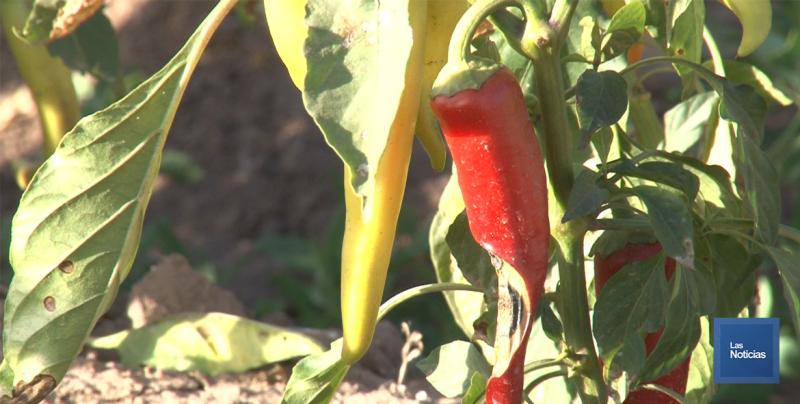 En el Valle del Yaqui piden a horticultores trabajar en siembra ante pronósticos de lluvias