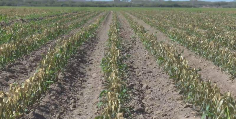 Productores agrícolas reviven catástrofe del 2011 con las heladas del 30 y 31 de diciembre