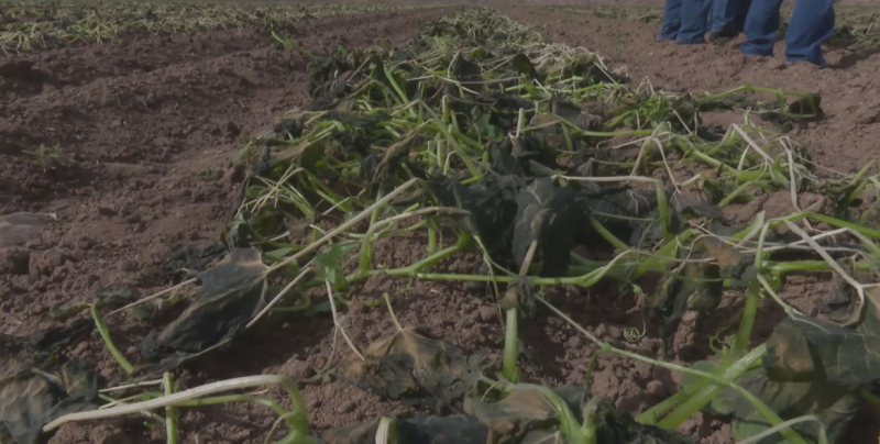 El seguro agrícola debe considerarse como parte de los insumos de producción