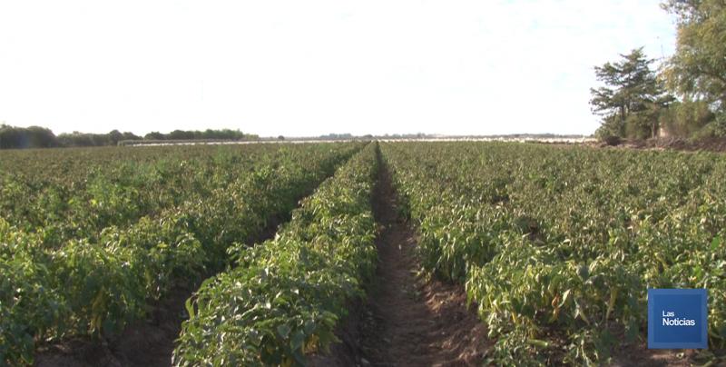 En Huatabampo, Horticultores aseguran que más de 800 hectáreas son las afectadas