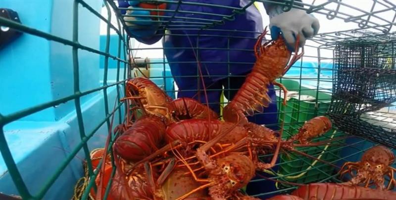 La pesca de langosta crece en estado de Baja California Sur