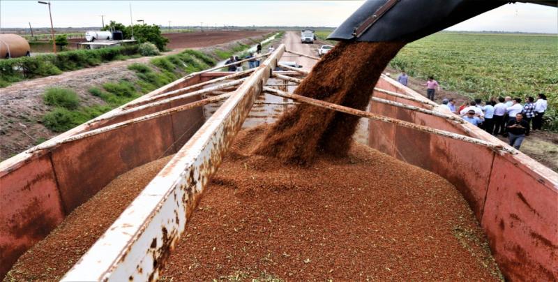 En enero se espera concretar protocolos para exportar sorgo a China
