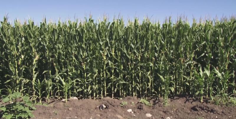 Dejan sin recurso a productores de maíz para la compra de coberturas