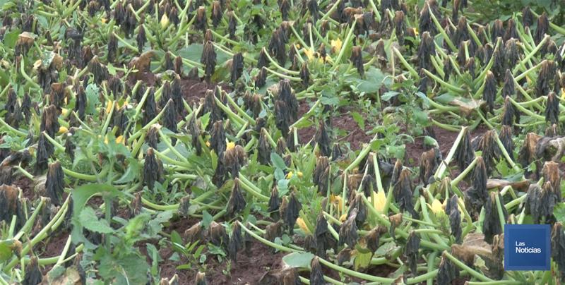 En Navojoa, Distrito de Riego estima pérdidas mayores a los 700 millones de pesos por pasadas heladas