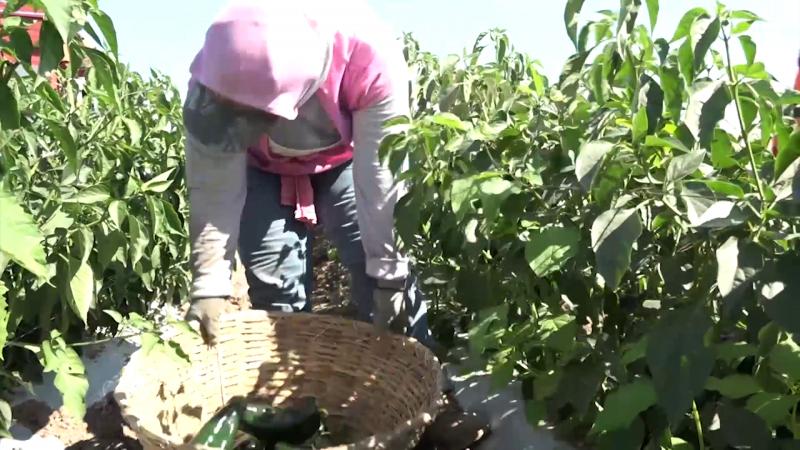 Sin cosechas, productores hortícolas del Sur del Estado