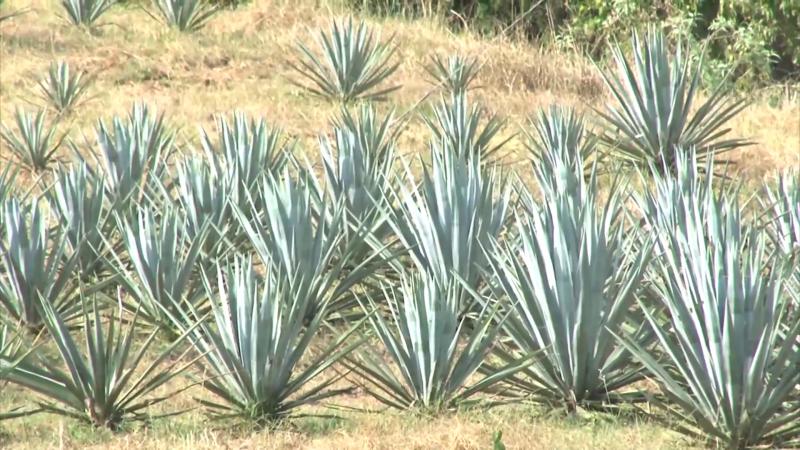 Denominación de origen del mezcal para Sinaloa