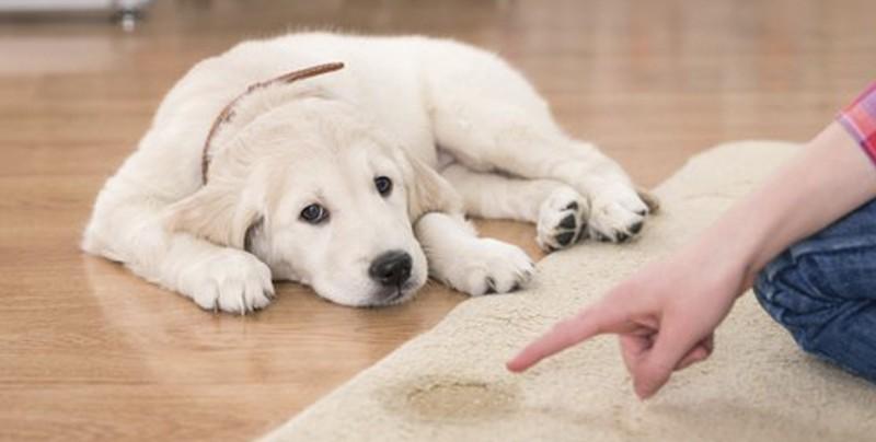 Éste es el mejor remedio para que tu mascota no se orine en tus muebles
