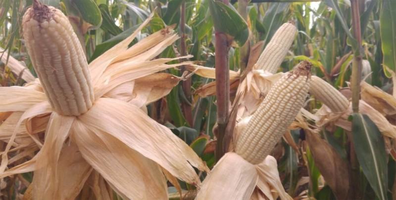 Cambio climático exige a México fortalecer genética de sus semillas de maíz