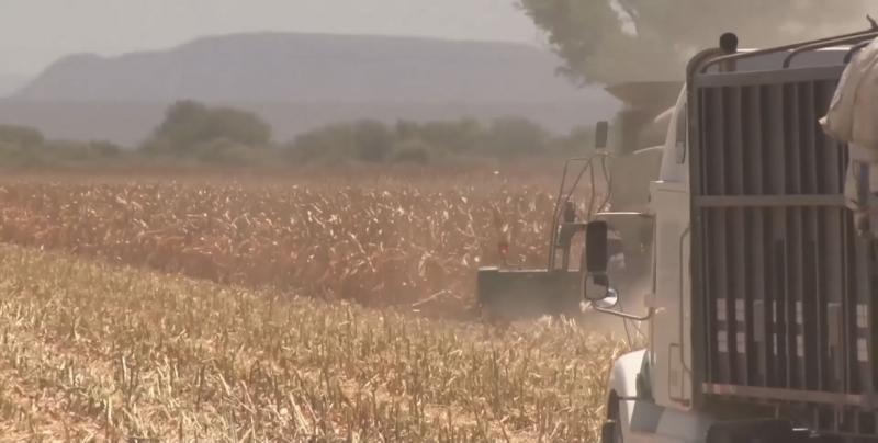 Garantiza gobierno federal esquema de agricultura por contrato para el maíz de Sinaloa