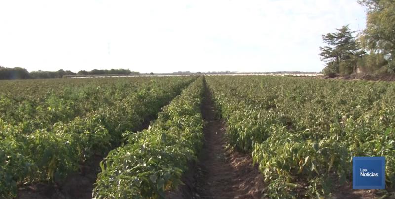 En el Valle del Yaqui, agricultores cambian de siembra a raíz de heladas