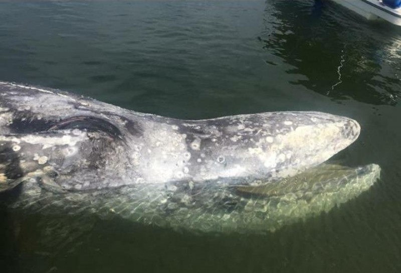 Encuentran ballena muerta en Altata
