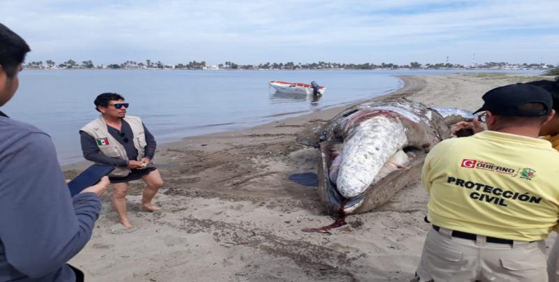 Aproximadamente en 3 semanas entregarán resultados de la muerte de la ballena