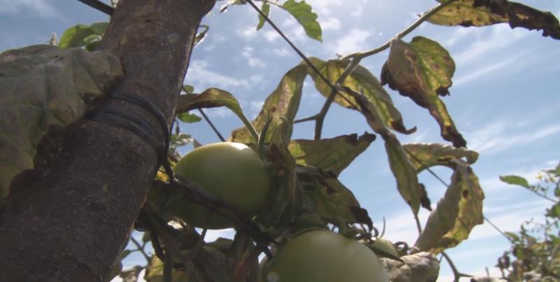 Preocupa a los productores no haberse alcanzado el acuerdo de suspensión del dumping al tomate mexicano