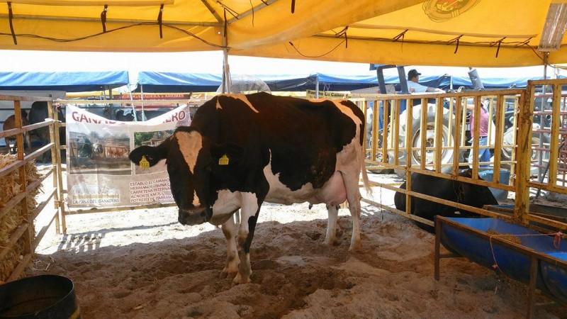 Ganaderos tendrán ganancias en producción de leche por el orden de los 18 MDP