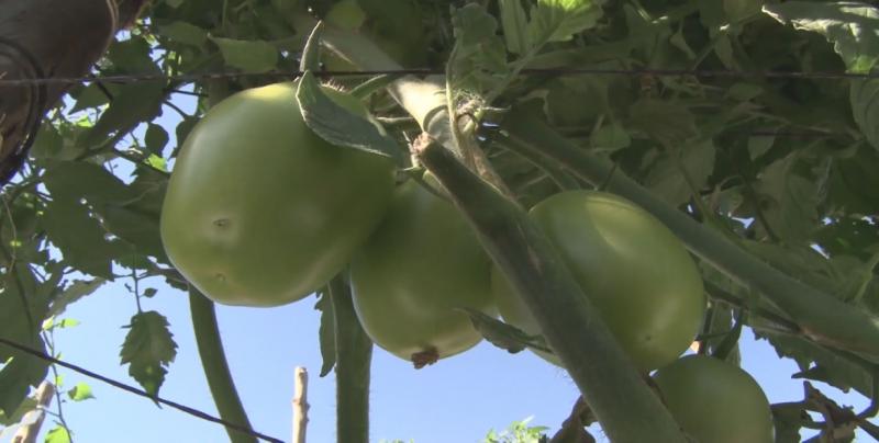 Afectaciones severas a la industria hortícola si se aplica el arancel a la exportación de tomate mexicano