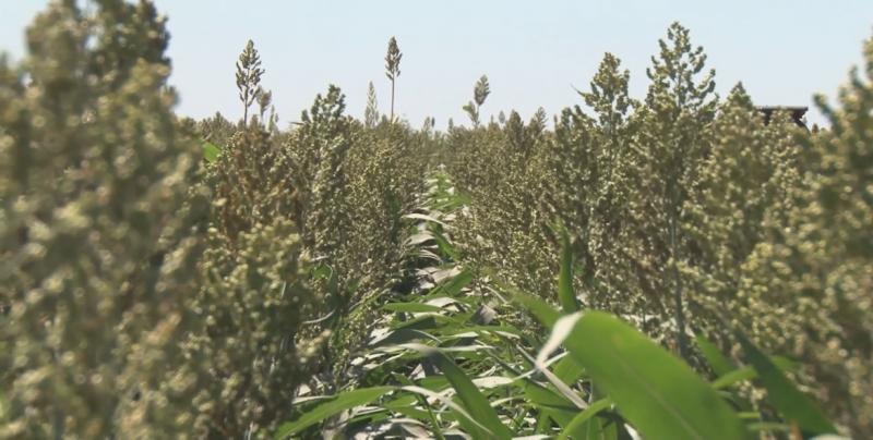 Sinaloa tiene posibilidades de exportar sorgo a China tras firmarse el protocolo sanitario