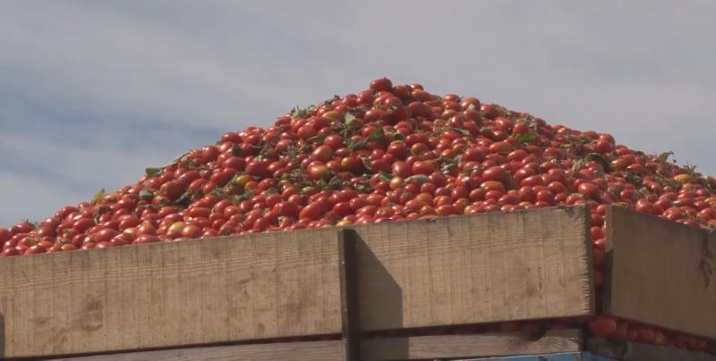 Refrenda la SEDECO apoyo total a los productores de tomate de Sinaloa