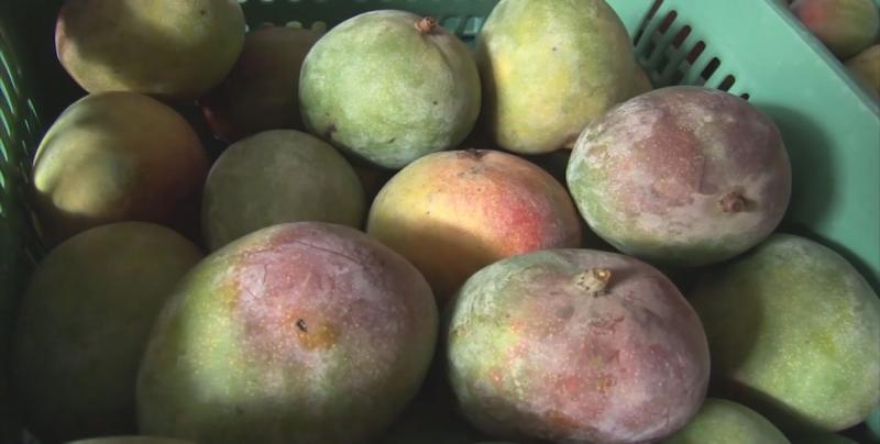 Gestiona la Secretaría de Agricultura nuevos mercados a los productores agropecuarios de Sinaloa