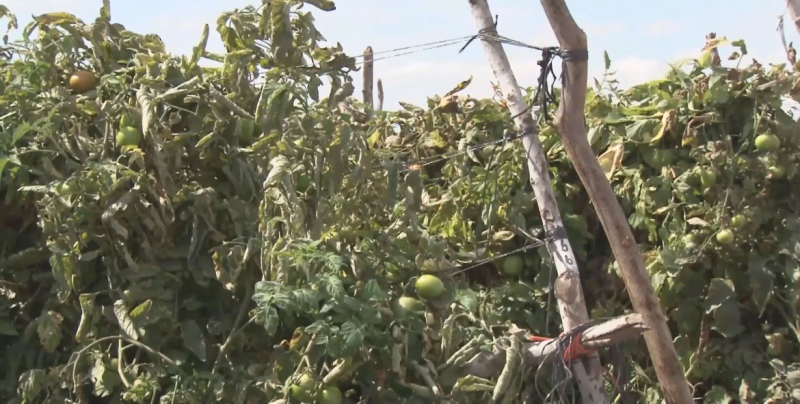 La negociación del tomate podría finalizar con los acuerdos de suspensión del dumping