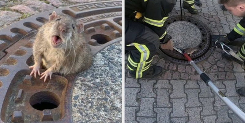 Salvan a una rata que se atoró en una alcantarilla por su sobrepeso