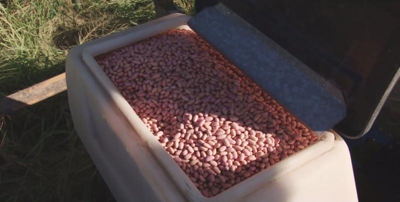 Tampoco habrá esquema de apoyo para la producción de frijol de Sinaloa