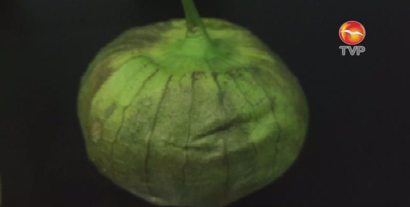 El tomate verde o tomatillo es una hortaliza con amplias propiedades saludables