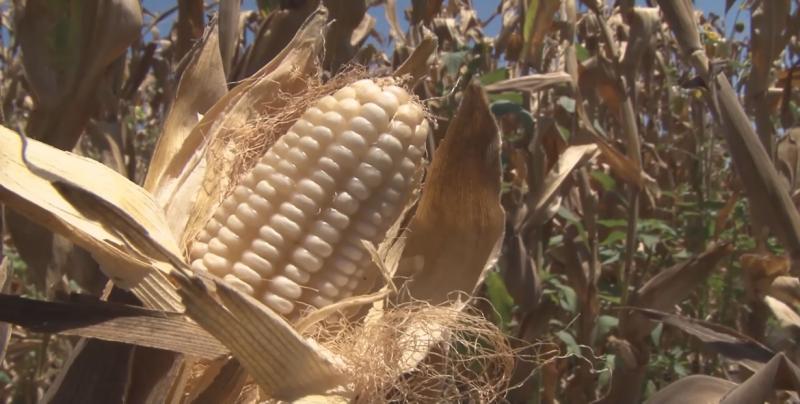 Sigue en caída el precio del maíz y Sinaloa podría dejar de recibir mas de 500 mdp en apoyos