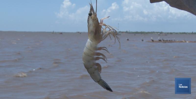 El 15 de este mes entra en vigor la veda para la captura de camarón