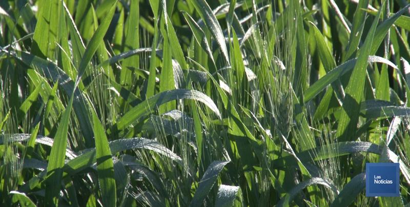 En el Valle del Yaqui, prevén producciones mayores de 6.4 toneladas por hectárea de trigo