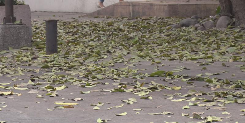 Los árboles tiran sus hojas como una forma de protección ante la llegada de la época de estiaje
