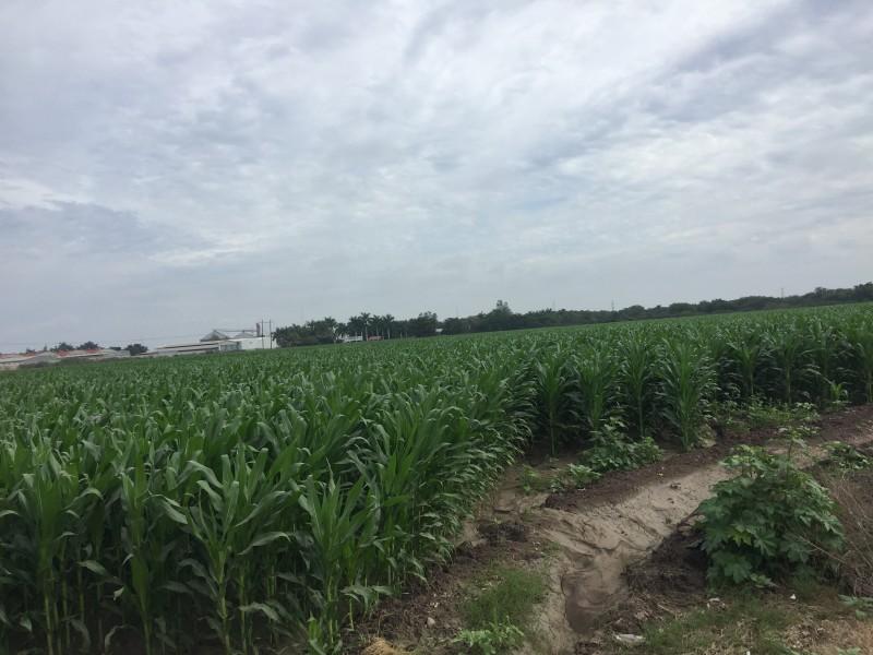 Logran incrementar superficie para apoyo de ingreso objetivo para maíz