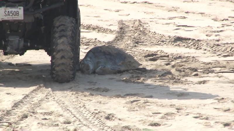 Aparece tortuga muerta en playas de Mazatlán