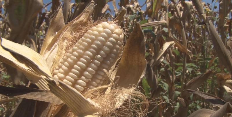 Hay alternativa de que la industria pague el ingreso objetivo total a los productores de maíz