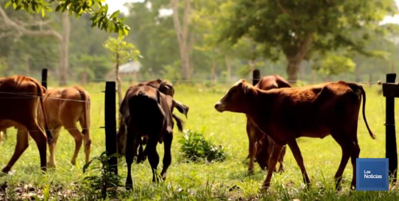 Frío afecta a becerros de ganaderos en la Perla del Mayo
