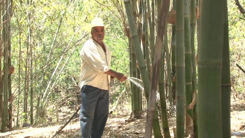 Por despuntar 'la mina de oro verde' en el sur de Sinaloa
