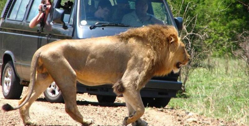 Un cazador furtivo es asesinado por un elefante y su cuerpo devorado por leones