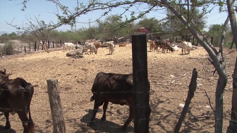 Crece demanda de medicamentos contra brucelosis en hatos ganaderos