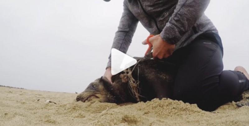 Salva a una foca que tenía una cuerda de plástico enrededada en el cuello