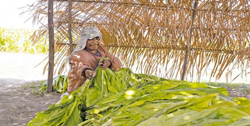 Plagas y cambio climático afectan a cultivos de tabaco en México
