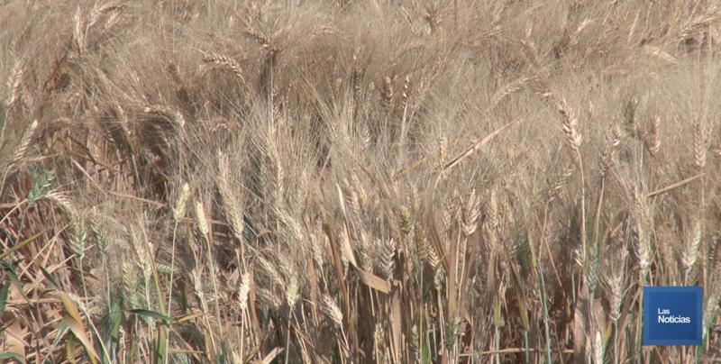 En esta semana se espera arranque la cosecha del trigo