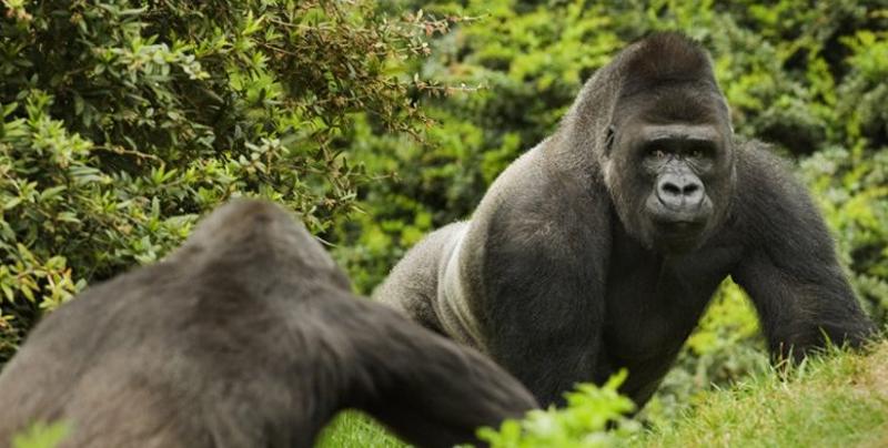 La selfie de gorilas con cuidador de parque se vuelve viral