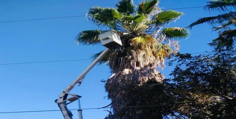 Podan  palmeras washingtonias en vialidades de Culiacán