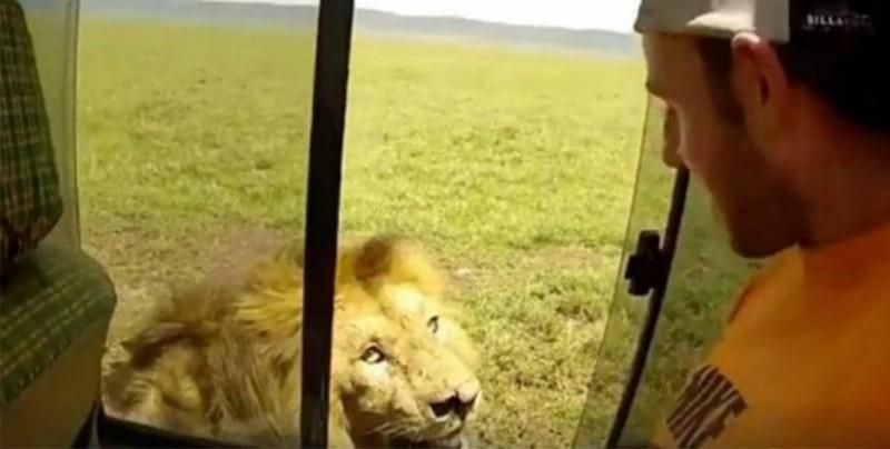 VIDEO: Hombre recibe el susto de su vida al acariciar a un león