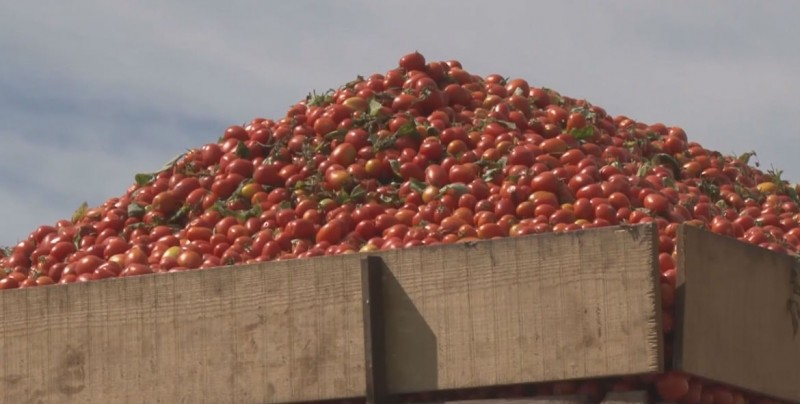 Sigue la defensa del tomate Sinaloense