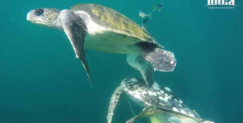 Rescatan en playas de Mazatlán dos tortugas atrapadas en red de pesca