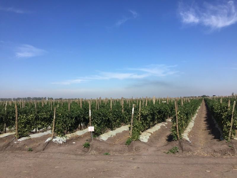 México pierde la batalla del tomate y deberá pagar arancel del 17.5 por ciento