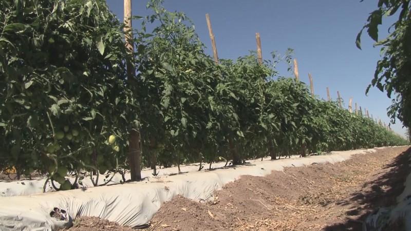 Tomate mexicano se incrementará de precio hasta un 70 por ciento en los Estados Unidos