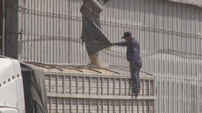 Amplían 10 días el plazo para la contratación del maíz de Sinaloa